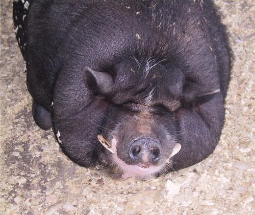 hog-wild-1466385